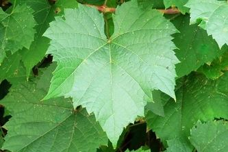 Black Rot Detection in Grape Leaves
