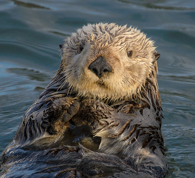 Endangered Canadian Sea Otters Organization – screenshot 2