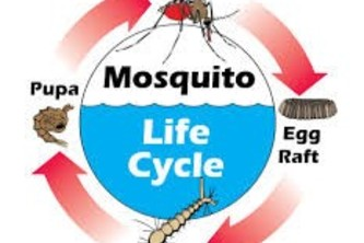 Trapping the mozzies in their life cycle