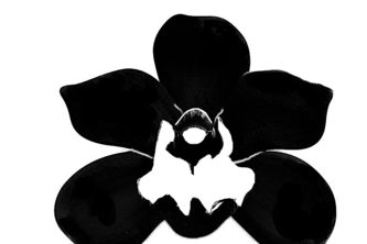 BlackOrchid