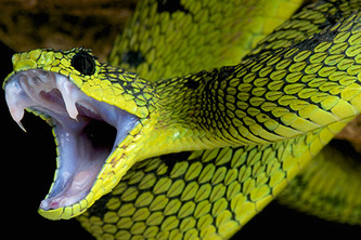 Yellow Mamba