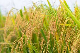 Rice Farming and Rice Processing